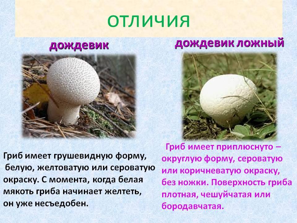 виды дождевиков грибов фото