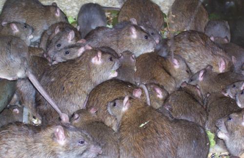 крысы.jpg